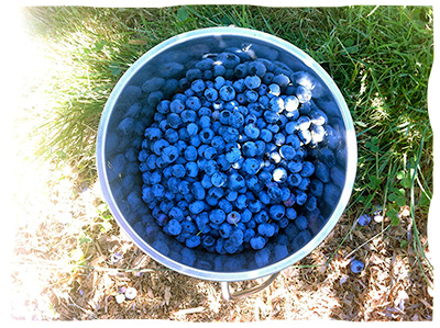 blueberrying