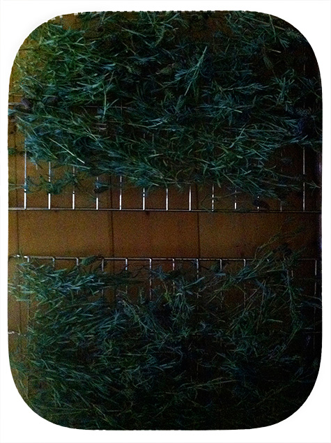 drying lavender foliage