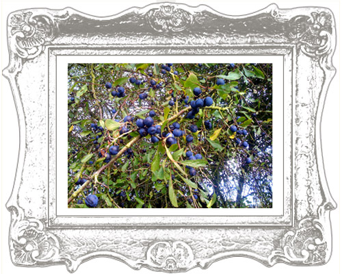 sloeberries-framed.jpg