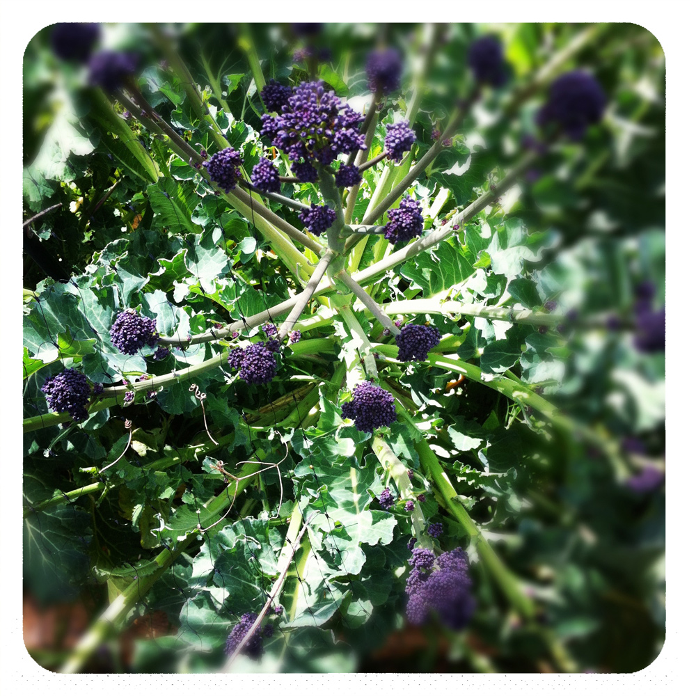 sprouting-broccoli